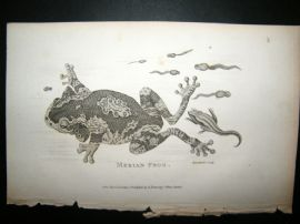 Shaw C1810 Antique Print. Merion Frog